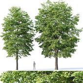 Tilia europaea # 4 H12-14m Two tree set