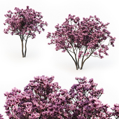 Magnolia Liliflora (3m) 2 Tree Set