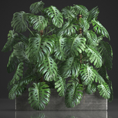 Plant collection 356. Monstera