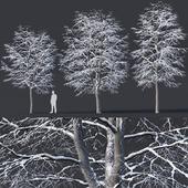 Tilia europaea # 6. H7-9m. Three winter tree set