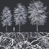 Tilia europaea #7. H11-14m. Three winter tree set