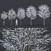 Tilia europaea # 5. H4-6m. Five winter tree set