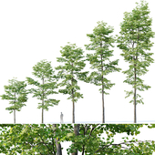 Tilia europaea # 8. H7-19m. Five forest trees
