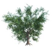 Дуб черешчатый / Quercus robur