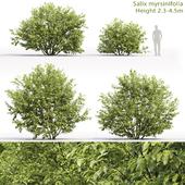 Ива мирзинолистная | Salix myrsinifolia #1 (2.3-4.5m)