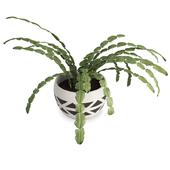 Succulent Plant Schlumbergera