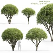 Willow fragile   Salix fragilis # 1 (2.6-3.7m)