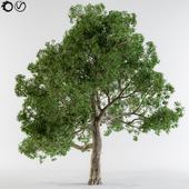 Broadleaf tree
