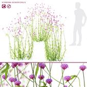 Verbena bonar flowers | Verbena bonariensis