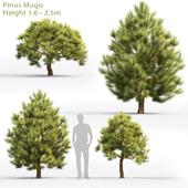 Сосна горная | Pinus Mugo #7 (1.6-2.5m)