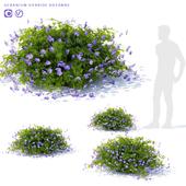 Geranium garden bush | Geranium hybride rozanne