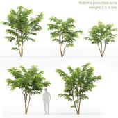 Acacia   Robinia Pceudoacacia # 7 (2.5-3.5m)