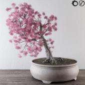Bonsai Pink Pine