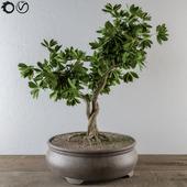 Bonsai BroadLeaf Tree