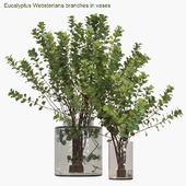 Eucalyptus Websteriana branches in vases #2