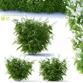Рябинник рябинолистный 3 куста | Sorbaria sorbifolia v2