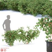 Raspberry bushes | Raspberries