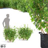 Currant bushes | Currant