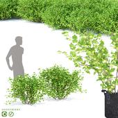Gooseberry bushes | Gooseberry