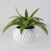 Aloe in the pot