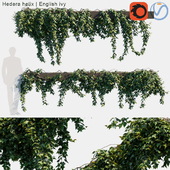 Hedera helix   English ivy creeper