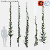 Hedera helix   English ivy vertical cordon