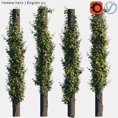 Hedera helix   English ivy on columns