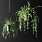 Hanging plants in hanging flower pots | Hanged plants set in hanging planters