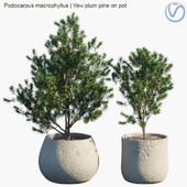 Plant in pots # 33: Yew plum pine