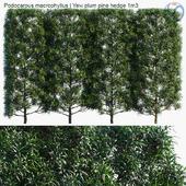Podocarpus macrophyllus | Yew plum pine hedge 1m3