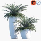 Plant in pots # 37: Sword Fern