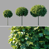"""Maple acutifoliate """"Globosum"""" / Acer platanoides """"Globosum"""""""