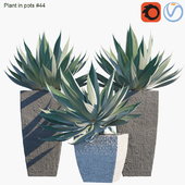 Plant in pots #44 : Agave