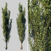 Pyramidal poplar / Populus pyramidalis