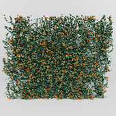Thunbergia alata ivy