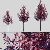 Plum Spread Pissardi / Prunus Cerasifera Pissardii