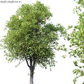 Maple   Maple-tree # 1