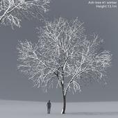 Winter Ash | Ash-tree winter # 1 (13.1m)