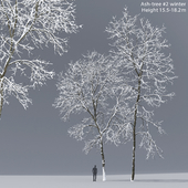 Winter Ash | Ash-tree # 2 winter (15.5-18.2m)
