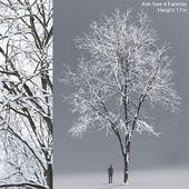 Winter Ash | Ash-tree winter # 3 (17m)