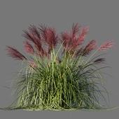 Мискантус китайский Ротфедер/Miscanthus sinensis Rotfeder
