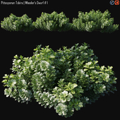 Pittosporum Tobira | Wheeler's Dwarf # 1