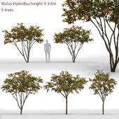Apple tree   Malus Hybridus # 1