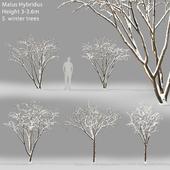 Winter apple tree | Malus Hybridus winter # 1
