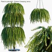 Plant in pots #46 : Golden Creeping Jenny