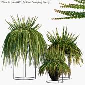 Plant in pots #47 : Golden Creeping Jenny