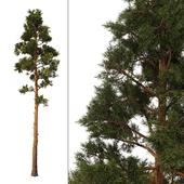Сосна_Pine