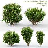 Derain Compress | Cornus sanguinea Compressa # 1