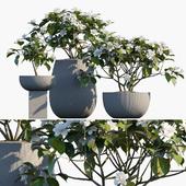 Plant in pots #48 : Gardenia jasminoides