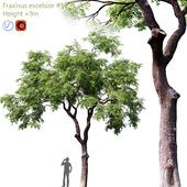Fraxinus excelsior #1